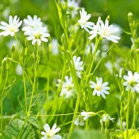 chickweed-1365289_960_720