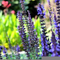 lavender-1108813__340