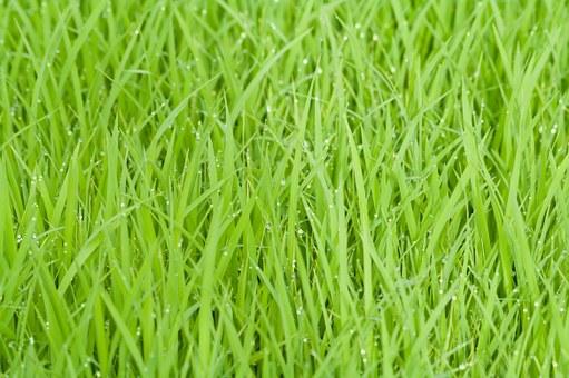 rice-field-387715__340