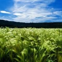 barley-871994__340