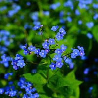 forget-me-not-1365858__480