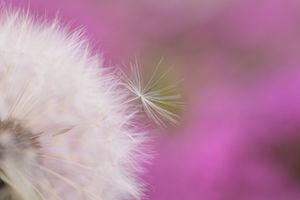 dandelion-950747__480